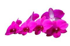 Νάνες ορχιδέες Dendrobium Στοκ Φωτογραφίες