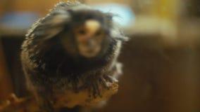 Νάνος άσπρος-έχων νώτα πίθηκος φιλμ μικρού μήκους