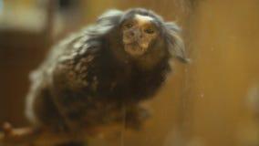 Νάνος άσπρος-έχων νώτα πίθηκος απόθεμα βίντεο