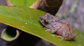 Νάνος βάτραχος του Μπους, όμορφος βάτραχος, βάτραχος στο πράσινο φύλλο Στοκ Εικόνα