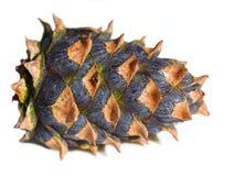 Νάνος κώνος πεύκων Στοκ Εικόνα