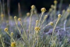 Νάνος everlast ή Immortelle (arenarium Helichrysum) Στοκ φωτογραφία με δικαίωμα ελεύθερης χρήσης