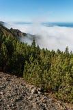 Νάνο δάσος mountainpine Στοκ φωτογραφίες με δικαίωμα ελεύθερης χρήσης