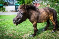 Νάνο άλογο στον εξωτικό ζωολογικό κήπο φλέβας στην Ταϊλάνδη Στοκ Φωτογραφίες