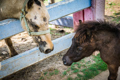 Νάνο άλογο στον εξωτικό ζωολογικό κήπο φλέβας στην Ταϊλάνδη Στοκ Εικόνες