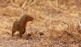 νάνο απτόητο mongoose Στοκ Φωτογραφία