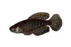 Νάνο αργεντινό μαργαριτάρι ψαριών ενυδρείων nigripinnis Killifish Austrolebias μαργαριταριών Blackfin Στοκ Εικόνα