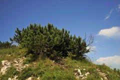 Νάνο δέντρο πεύκων Στοκ Εικόνες