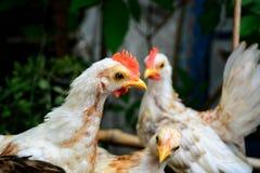 Νάνο κοτόπουλο Στοκ φωτογραφία με δικαίωμα ελεύθερης χρήσης