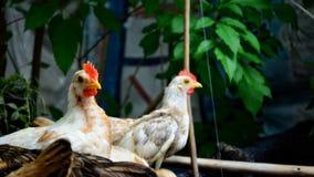 Νάνο κοτόπουλο Στοκ Φωτογραφίες