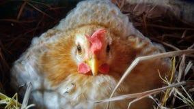 Νάνο κοτόπουλο Στοκ Φωτογραφία