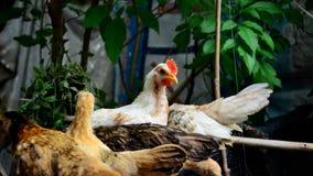 Νάνο κοτόπουλο Στοκ Εικόνα