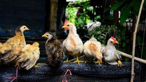 Νάνο κοτόπουλο Στοκ Εικόνες