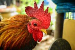 Νάνο κοτόπουλο Στοκ φωτογραφίες με δικαίωμα ελεύθερης χρήσης