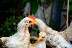 Νάνο κοτόπουλο Στοκ εικόνα με δικαίωμα ελεύθερης χρήσης