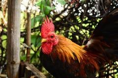 Νάνο κοτόπουλο Στοκ εικόνες με δικαίωμα ελεύθερης χρήσης