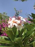 Νάνο ρόδινο Plumeria λουλούδι της Σιγκαπούρης Στοκ Φωτογραφία