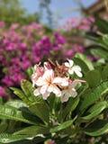 Νάνο ρόδινο Plumeria λουλούδι της Σιγκαπούρης Στοκ Εικόνες