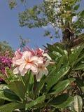 Νάνο ρόδινο Plumeria λουλούδι της Σιγκαπούρης Στοκ εικόνα με δικαίωμα ελεύθερης χρήσης