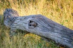 Νάνο mongoose κρύψιμο σε έναν κορμό δέντρων Στοκ Φωτογραφία