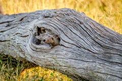 Νάνο mongoose κρύψιμο σε έναν κορμό δέντρων Στοκ εικόνες με δικαίωμα ελεύθερης χρήσης