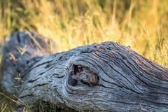 Νάνο mongoose κρύψιμο σε ένα πεσμένο δέντρο Στοκ Εικόνες