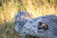 Νάνο mongoose κρύψιμο σε ένα πεσμένο δέντρο Στοκ εικόνα με δικαίωμα ελεύθερης χρήσης