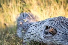 Νάνο mongoose κρύψιμο σε ένα πεσμένο δέντρο Στοκ εικόνες με δικαίωμα ελεύθερης χρήσης