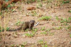 Νάνο mongoose με πρωταγωνιστή στη κάμερα Στοκ φωτογραφίες με δικαίωμα ελεύθερης χρήσης