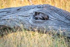 Νάνο mongoose που κρύβει στο δέντρο Στοκ Εικόνες