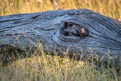 Νάνο mongoose που κρύβει στο δέντρο Στοκ Φωτογραφία
