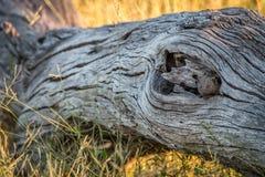Νάνο mongoose που κρύβει στο δέντρο Στοκ Εικόνα