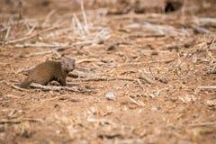 Νάνο mongoose που περπατά στην άμμο Στοκ Εικόνες