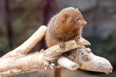 Νάνο Mongoose σε έναν ξηρό κλάδο ενός δέντρου, κινηματογράφηση σε πρώτο πλάνο στοκ φωτογραφίες