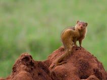 Νάνο mongoose σε ένα ανάχωμα τερμιτών Στοκ Εικόνα