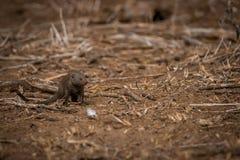 Νάνο mongoose στο ρύπο στο Kruger Στοκ Εικόνα