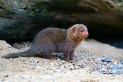 νάνο mongoose Στοκ εικόνες με δικαίωμα ελεύθερης χρήσης