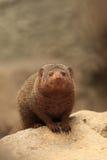 Νάνο mongoose Στοκ Εικόνα