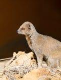 νάνο mongoose Στοκ Φωτογραφίες