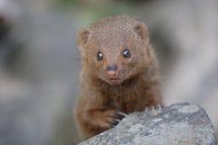 νάνο mongoose Στοκ φωτογραφίες με δικαίωμα ελεύθερης χρήσης