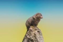 νάνο mongoose Στοκ Εικόνες