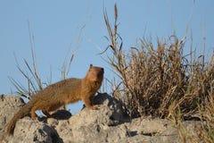 νάνο mongoose helogale parvula Στοκ φωτογραφίες με δικαίωμα ελεύθερης χρήσης
