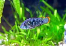 Νάνο nijsseni cichlid-Apistogramma ψαριών ενυδρείων. Στοκ Εικόνες