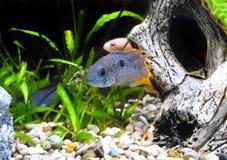 Νάνο nijsseni cichlid-Apistogramma ψαριών ενυδρείων. Στοκ εικόνα με δικαίωμα ελεύθερης χρήσης