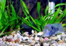 Νάνο nijsseni cichlid-Apistogramma ψαριών ενυδρείων. Στοκ φωτογραφία με δικαίωμα ελεύθερης χρήσης