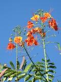 Νάνο pulcherrima Caesalpinia poinciana: λουλούδια με ένα λαμπρό μίγμα κίτρινου, πορτοκάλι στο κόκκινο στοκ φωτογραφία