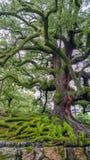 Νάρα, ΙΑΠΩΝΙΑ, στις 14 Αυγούστου 2017: Αρχαίο δέντρο με το πράσινο βρύο και μεγάλες ρίζες στο πάρκο του Νάρα Στοκ φωτογραφία με δικαίωμα ελεύθερης χρήσης