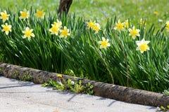 Νάρκισσοι ή αιώνια ποώδη βολβοφόρα geophytes Daffodil που ανθίζουν τα φυτά με το κίτρινο λουλούδι που φυτεύεται σε μια σειρά δίπλ στοκ εικόνα