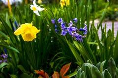 Νάρκισσοι κίτρινοι στον κήπο μου Στοκ φωτογραφίες με δικαίωμα ελεύθερης χρήσης