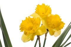 νάρκισσοι κίτρινοι στοκ φωτογραφίες με δικαίωμα ελεύθερης χρήσης